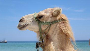 strain gnat swallow camel