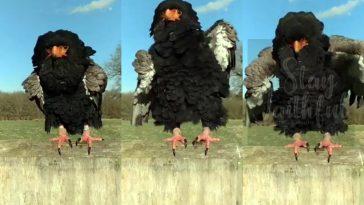 bateleur eagle dance video